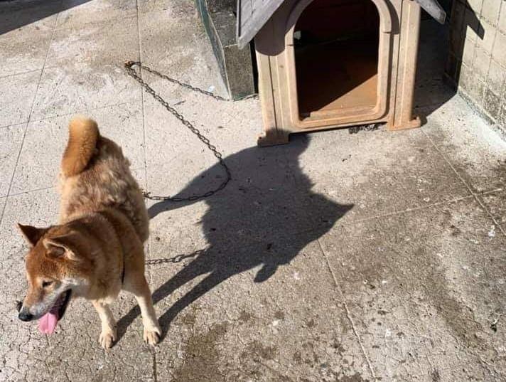 民眾將犬隻遺忘在頂樓曝曬,由於地面是水泥,實測溫度高達61度,狗屋裡更熱。(基隆動物保護防疫所提供)