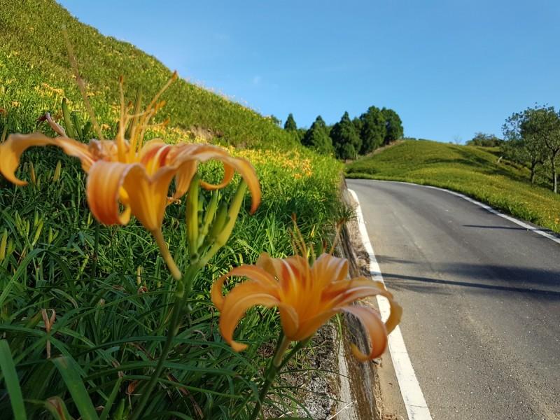 花蓮金針花季登場,預計2週後陸續盛開。(民眾提供)