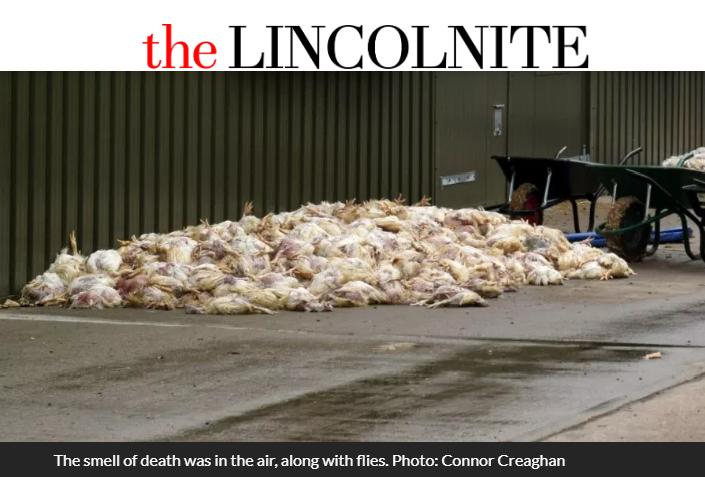 英國林肯郡(Lincolnshire)一座養雞場在7月底被發現雞隻集體熱死事件,雞屍堆疊成好幾座小山。(擷取自林肯晚報)