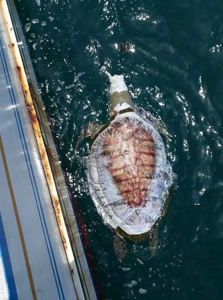漁民在風櫃蛇頭山海域,發現斷頭無殼龜屍。(顏善龍提供)