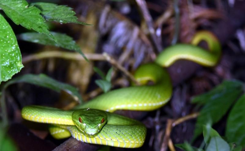 南投縣魚池鄉許姓男子在散步途中連遇3種毒蛇,圖為赤尾青竹絲。(記者謝介裕翻攝)