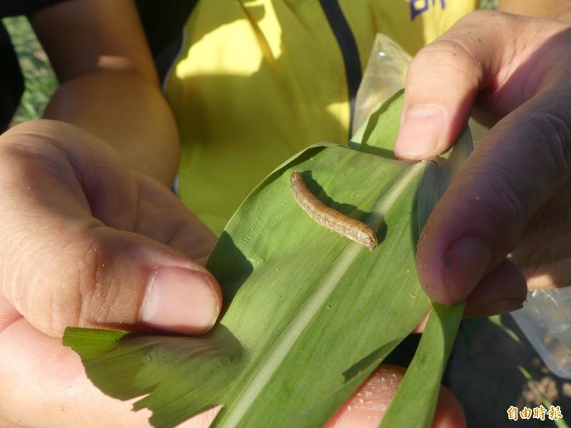 秋行軍蟲入侵金門高粱田嚴重,沙崗一處遭攻擊淪陷的高粱田,很快就被實習植物醫師找到秋行軍蟲。(記者吳正庭攝)