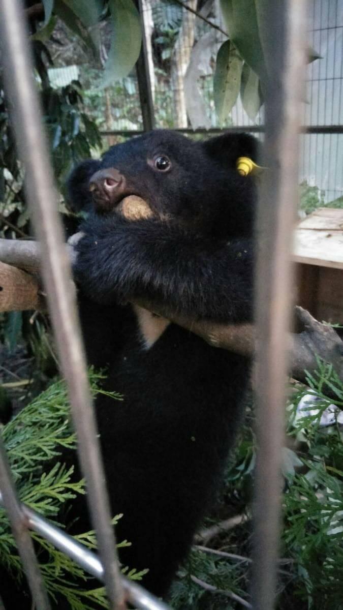 只有4個月大的廣原小熊,等了10天仍等不到媽媽前來。(記者王秀亭翻攝)