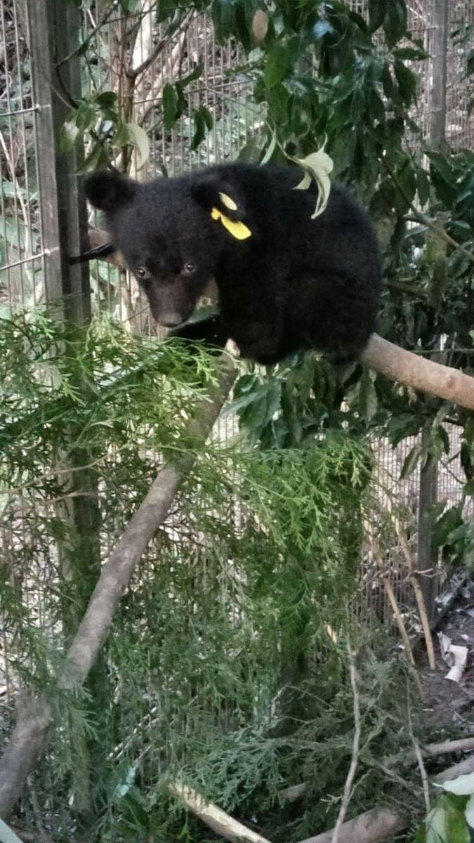 廣原小熊調皮地在籠裡登上爬下。(記者王秀亭翻攝)