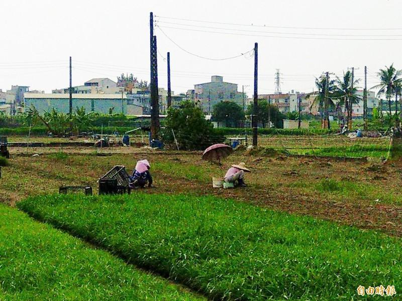 梓官蔬菜專區因連續降雨,許多蔬菜還沒長大,隨著颱風來勢洶洶,農民能搶收的蔬菜很少。(記者陳文嬋攝)