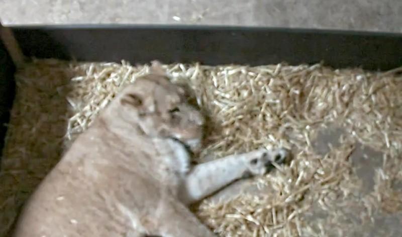 德國動物園一隻首次當媽的母獅,在分娩僅3天後,殺死並吃掉2隻獅子寶寶。(圖取自臉書「Zoo Leipzig」)