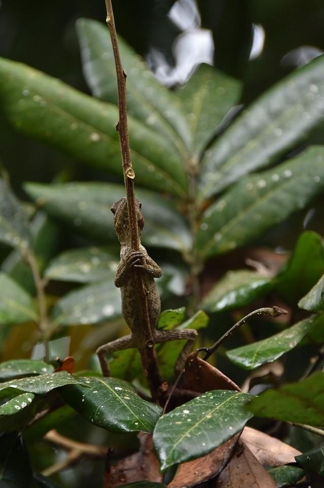蜥蜴也會「拿香跟拜」?民眾在山區發現蜥蜴停棲在細小枝條,動作像極了拿香拜拜,與鬼月相當應景。(民眾沈揮勝提供)