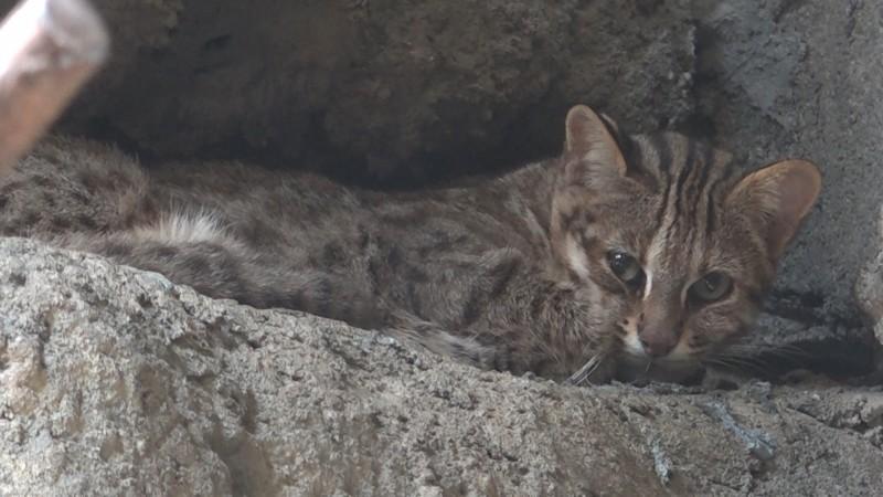 石虎白天喜歡躲在牠們選定的安全地點休息。(台北市立動物園提供)