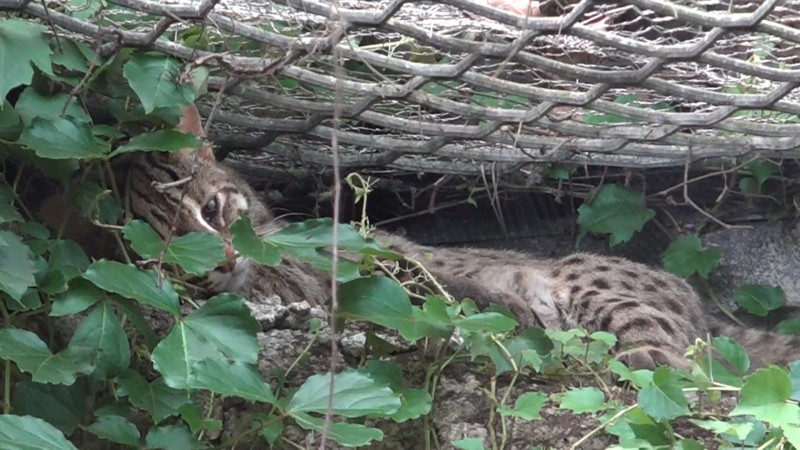 石虎「小魚」喜歡待在仿岩上有綠色植被覆蓋處休息。(台北市立動物園提供)