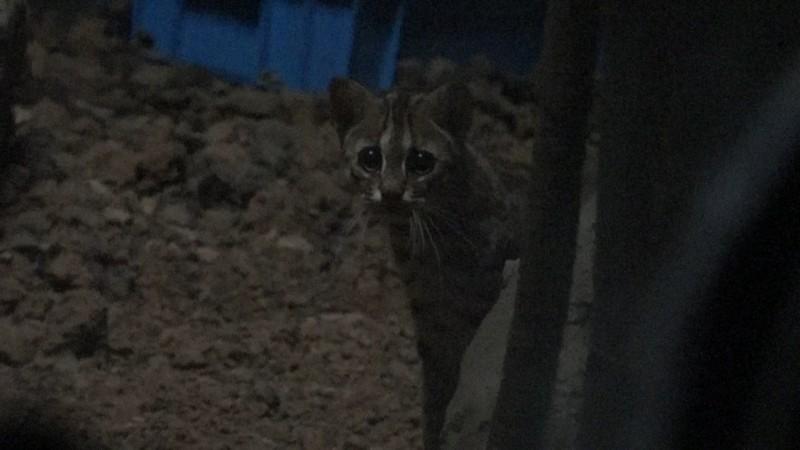 石虎喜歡在晨昏和夜晚活動。(台北市立動物園提供)