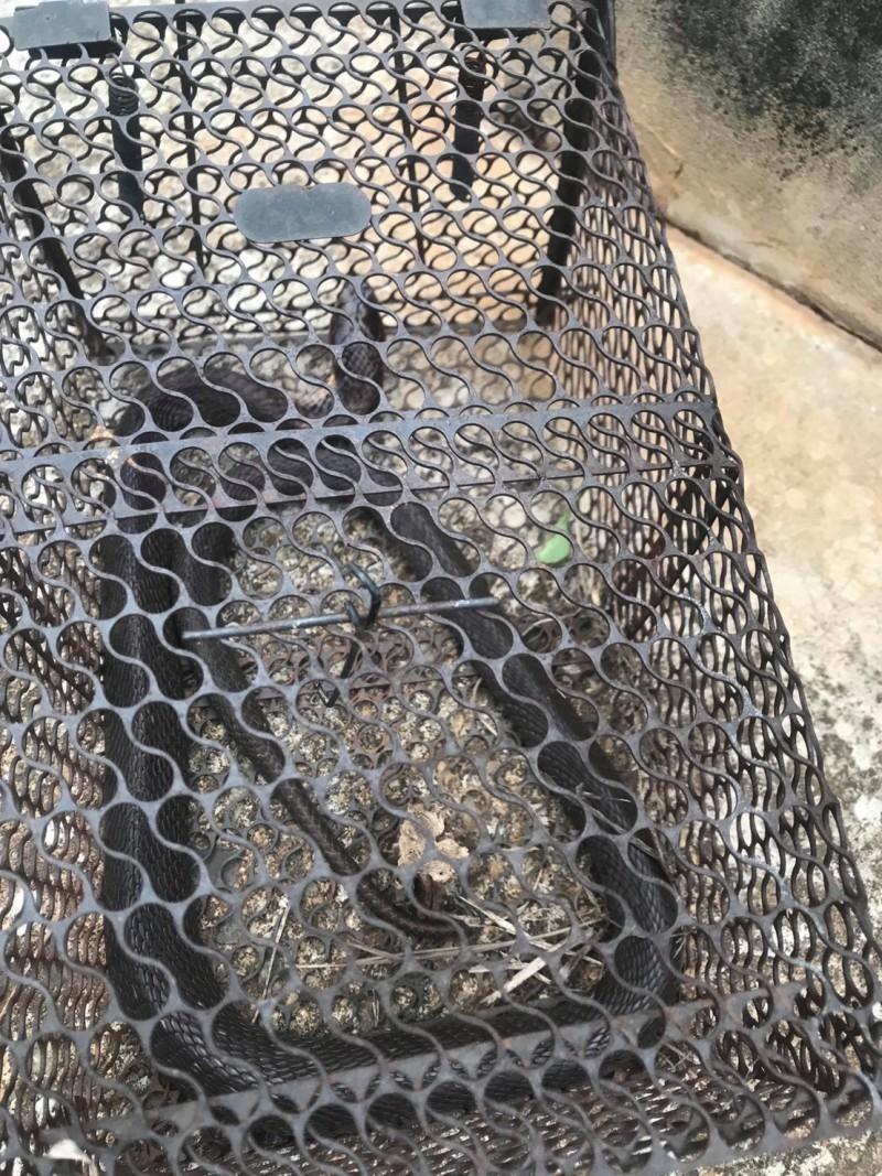 民眾在自家菜園捕獲一隻白腹眼鏡蛇。(讀者提供)