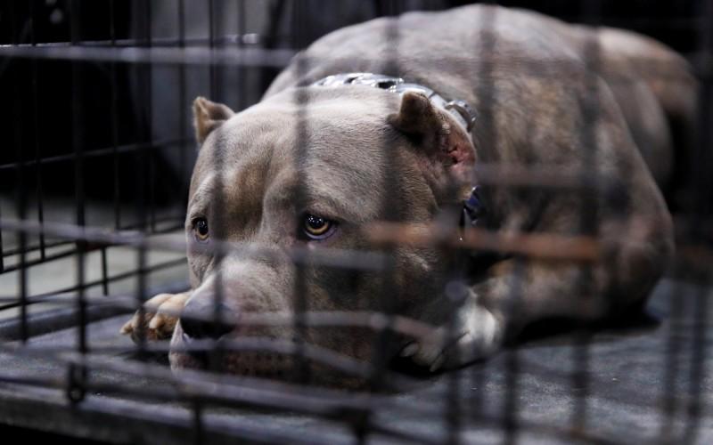 美國德州1名16歲少年遭3隻比特犬啃咬,雖緊急送醫仍然不治。比特犬示意圖。(路透)