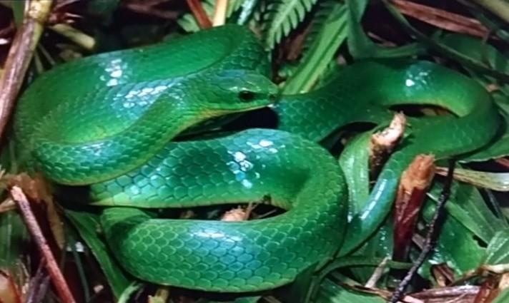 青蛇在亡故後,體色會從青色逐漸變成藍色,令人嘖嘖稱奇。(台灣動物路死觀察網提供)