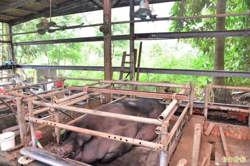 陳舜郎將每隻神豬都取了名字,個性憨厚、重約1000斤的豬寶貝被取名為「阿憨」,與其他豬仔全天吹電扇散熱。(記者張議晨攝)