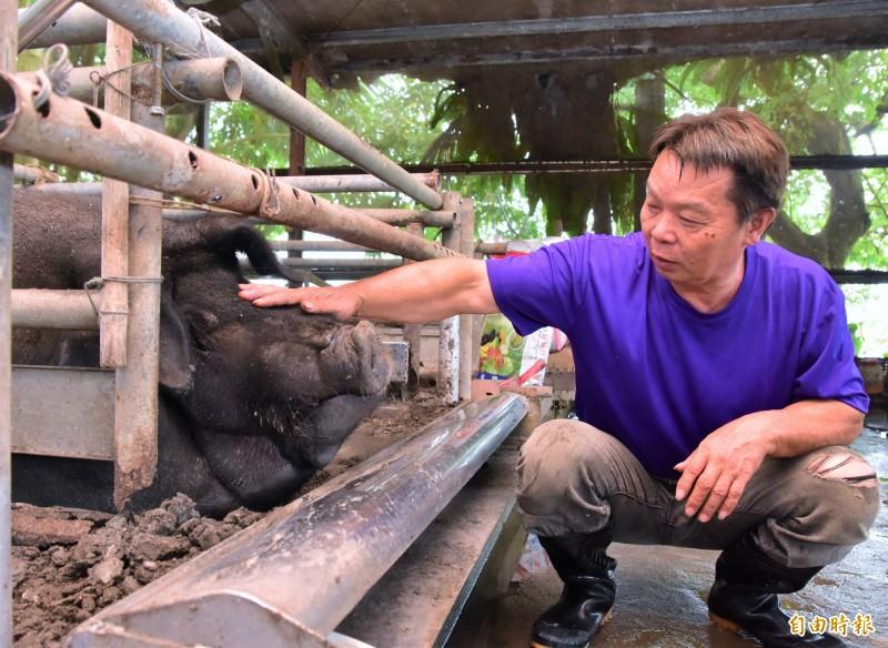 陳舜郎將每隻神豬都取了名字,個性憨厚、重約1000斤的豬寶貝被取名為「阿憨」,圓滾滾外型相當討喜可愛。(記者張議晨攝)