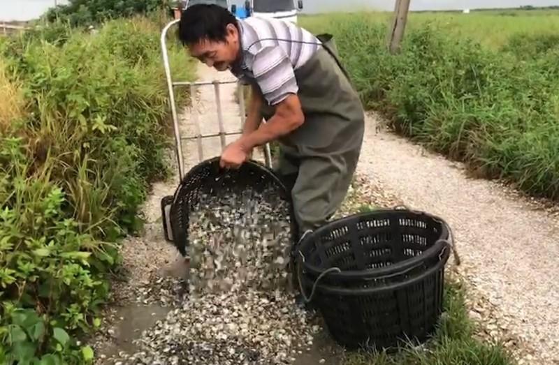 今年高溫又暴雨多,文蛤紛傳暴斃,文蛤農忍痛倒掉。(記者劉曉欣翻攝)