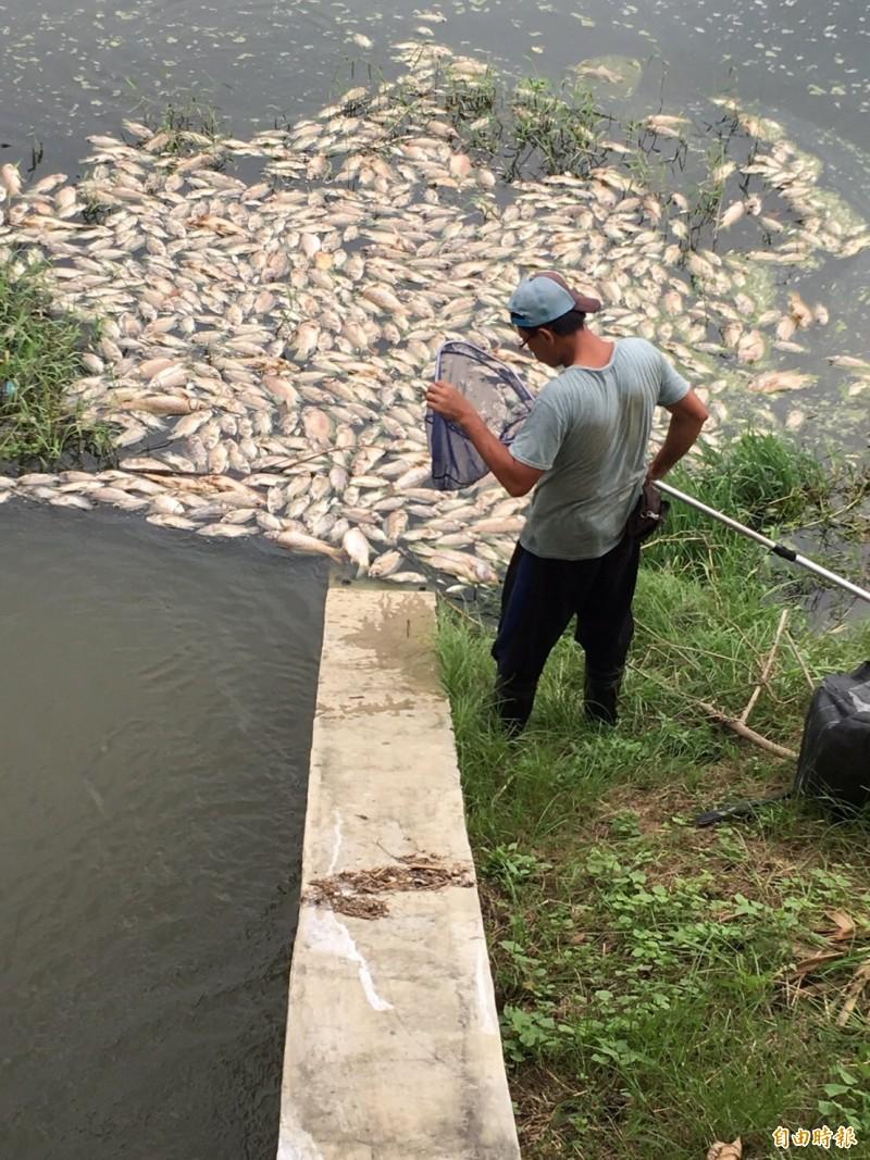 水利局今撈除100多噸魚屍。(記者陳文嬋攝)
