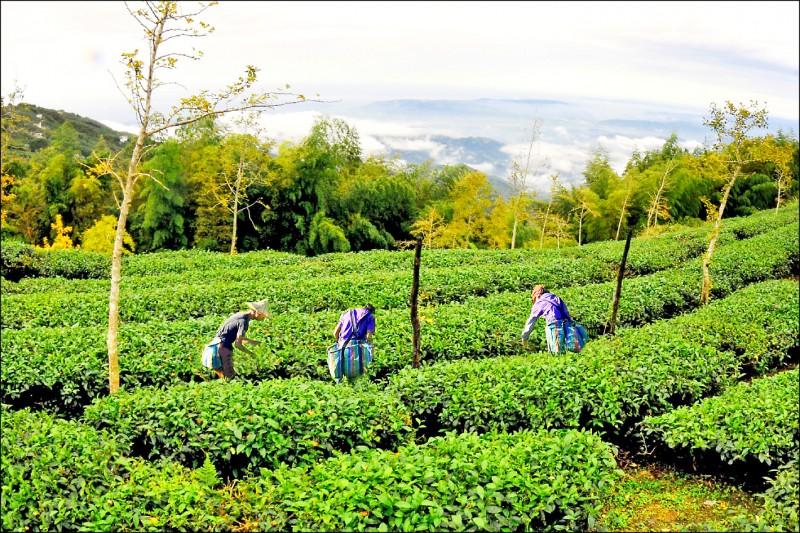 儘管採茶缺工,但農耕士目前未參與,僅協助製茶烘茶等工作。(民眾提供)