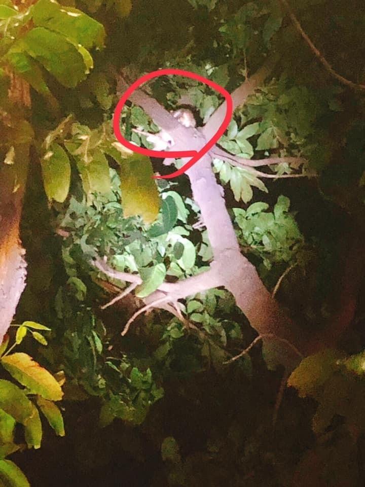 小虎斑貓被發現在樹梢上哀鳴。(取自臉書)