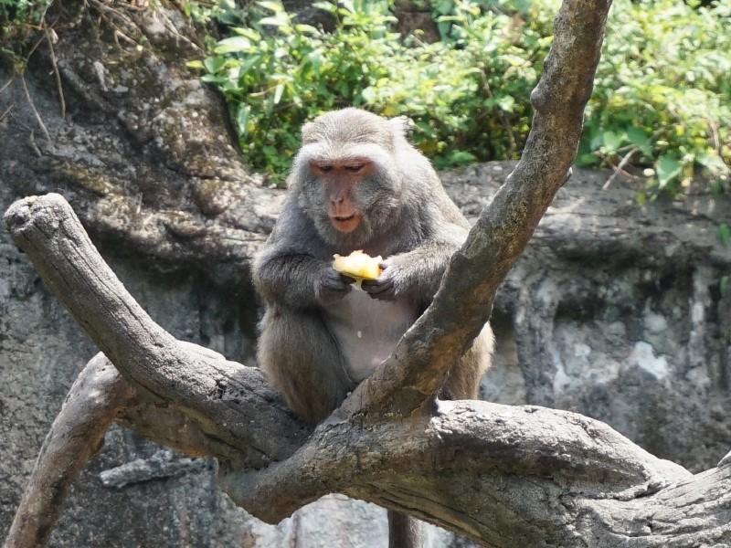 台灣獼猴吃冰!(台北市立動物園提供)