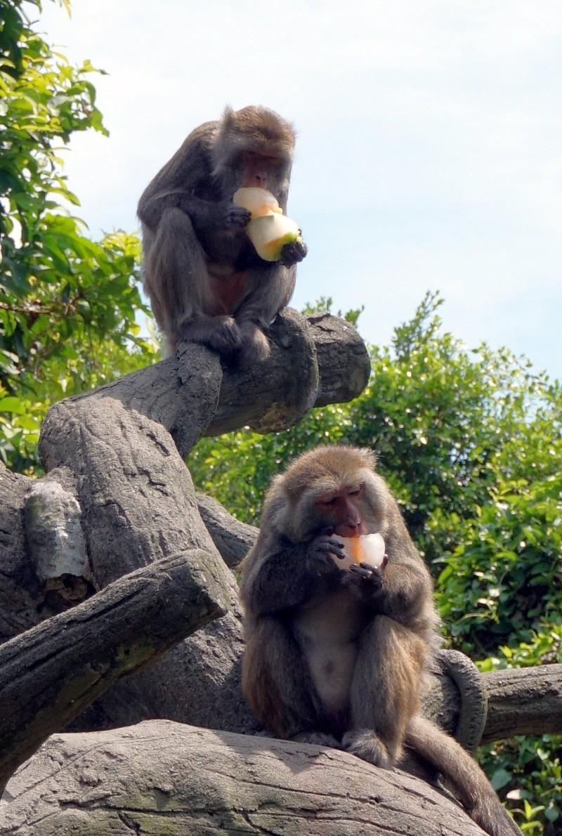 每年夏季動物廚房都會特地為動物們準備冰品消暑。(台北市立動物園提供)
