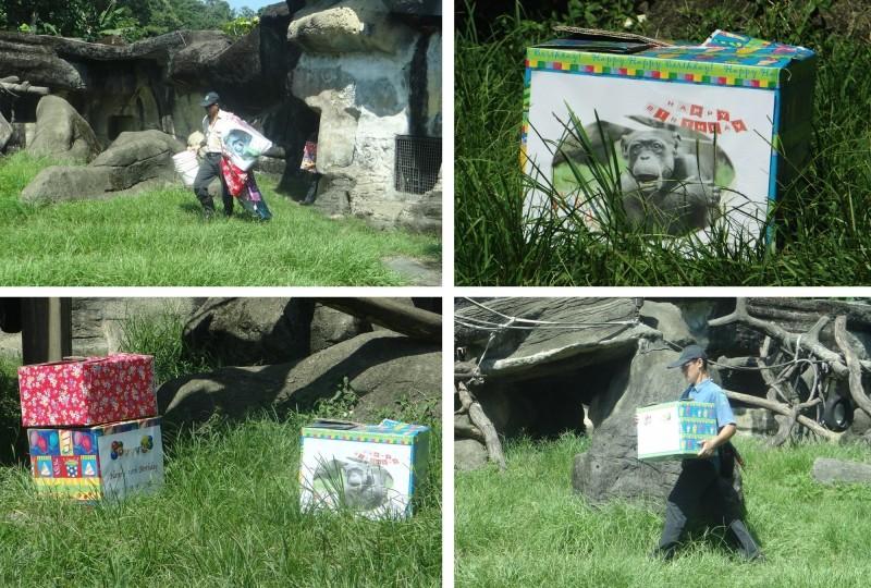 黑猩猩阿美50歲生日,保育員忙著佈置活動場。(台北市立動物園提供)