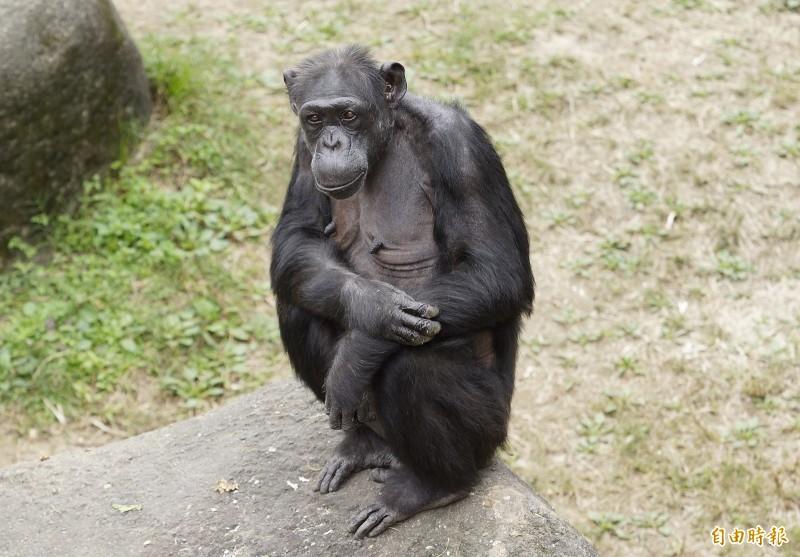 黑猩猩「阿美」歡度50大壽,保育員為她和家族成員準備了西瓜冰賀壽。(記者蔡亞樺攝)