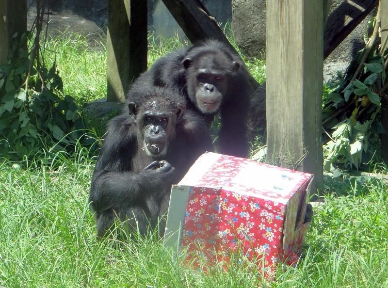 一箱箱的神秘禮物盒,裡面裝了黑猩猩們愛吃的核桃和水果。(台北市立動物園提供)