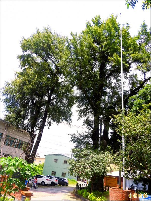 楓香公園的楓香老樹飽受褐根病侵害,目前僅存五株。(記者佟振國攝)