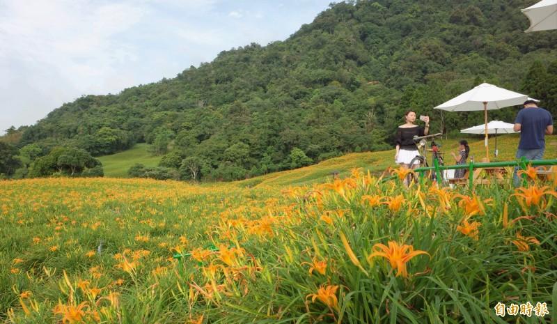 赤科山小瑞士農場金針花吸引網美拍照打卡。(記者花孟璟攝)