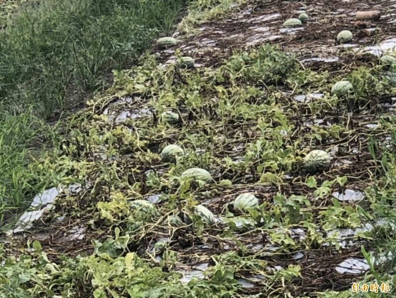 連夜暴雨狂炸彰化縣,和美的西瓜田泡水而爛掉,損失慘重。(記者湯世名攝)