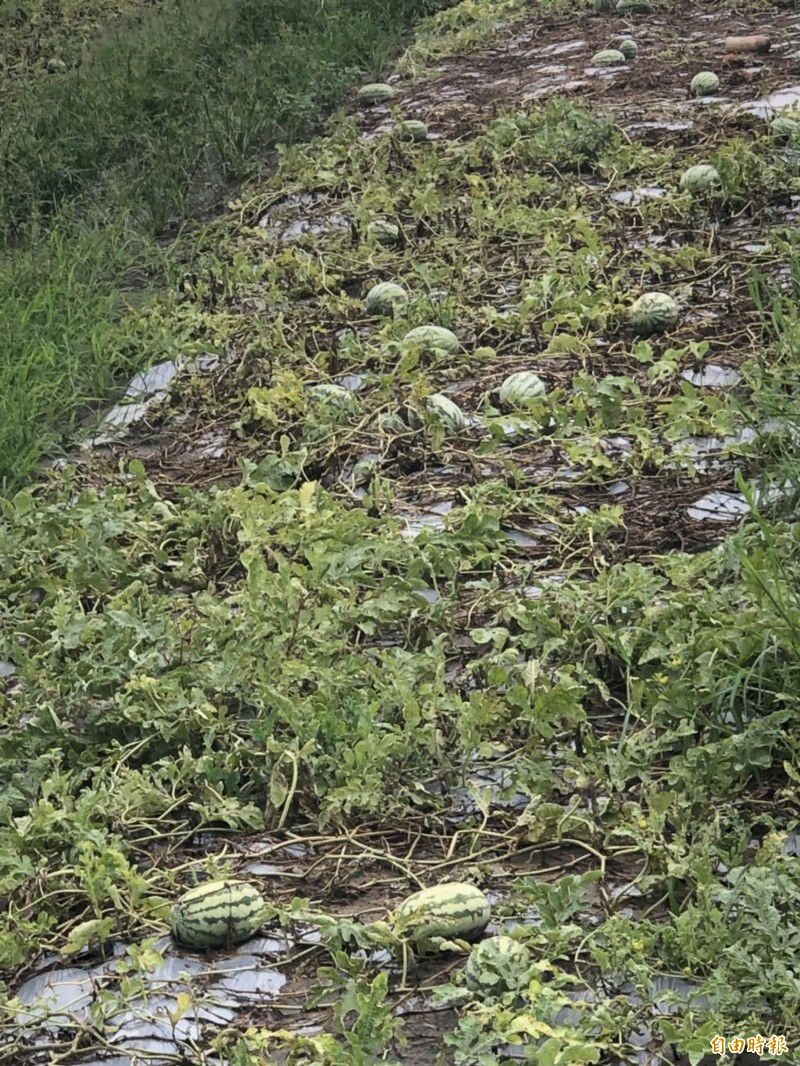 和美的西瓜泡水爛掉,今天大水退去露出西瓜,損失慘重。(記者湯世名攝)