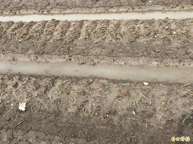 連夜暴雨狂炸彰化縣,伸港鄉的洋蔥田全部泡水,損失慘重。(記者湯世名攝)