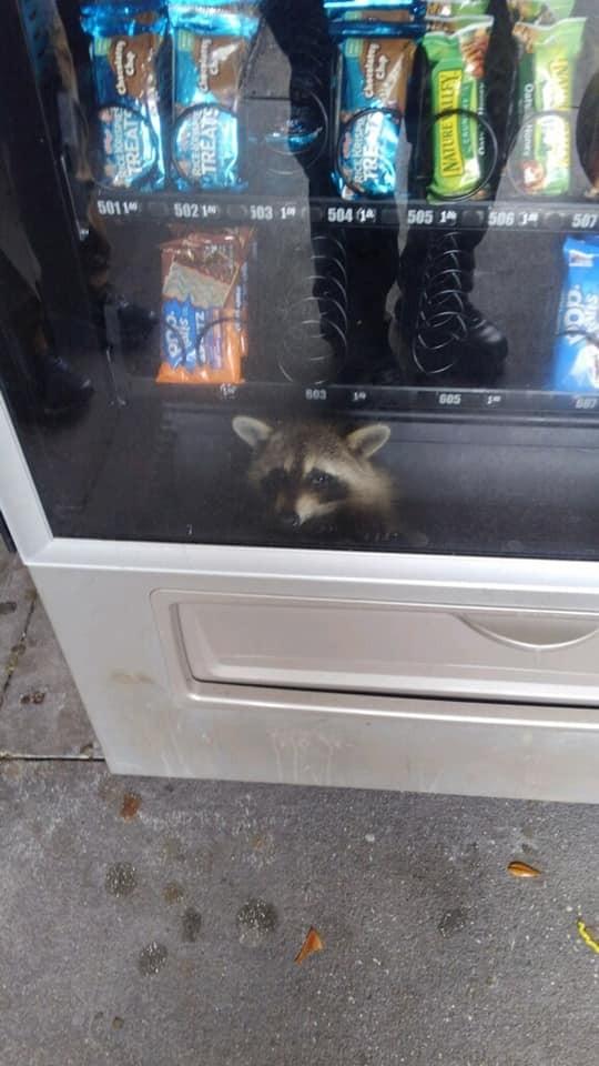 美國佛州一所高中的自動販賣機內部竟出現浣熊,,警方打趣地說要以竊盜罪嫌將其「逮捕」。(圖擷自Volusia County Sheriff's Office臉書)