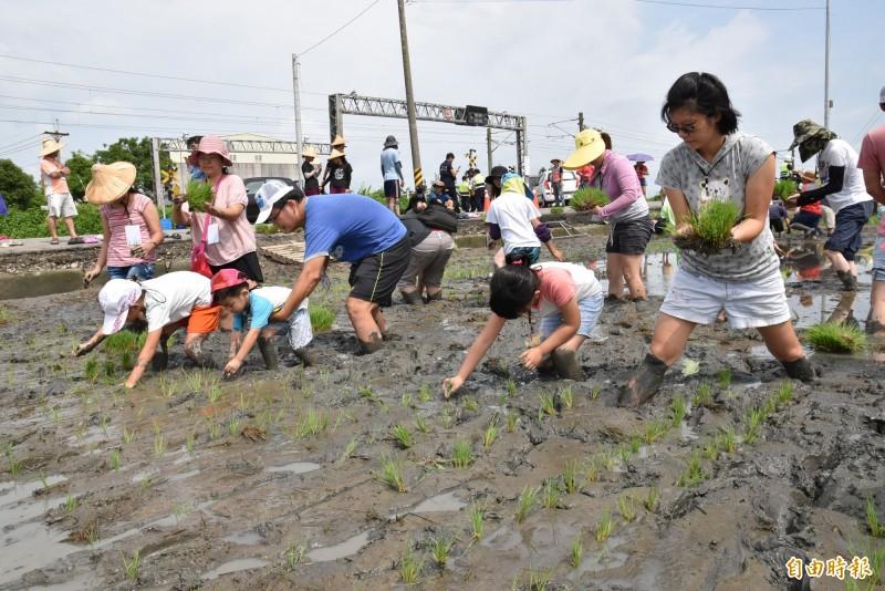 雲林斗南鎮農會彩繪稻田今天插秧,大人小孩一起來下田體驗插秧。(記者黃淑莉攝)