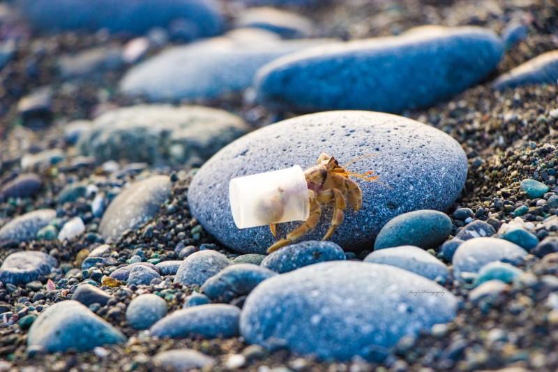 台東縣三仙台的寄居蟹背著垃圾塑膠杯生活。(嚴文㚬授權提供,記者林宜樟翻攝)