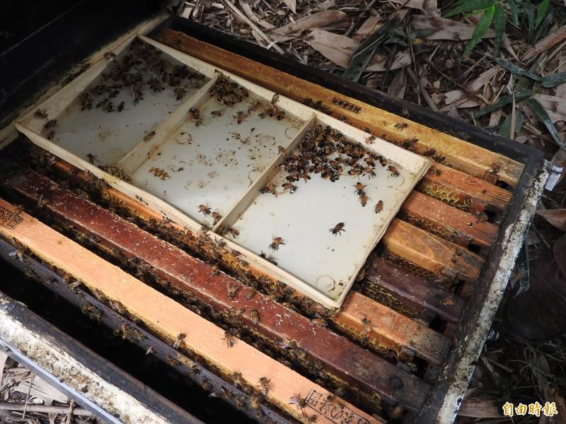 南投蜂農受災的蜂箱蜜蜂數量大幅減少,更多蜜蜂不斷顫抖跳動,陸續掙扎而死。(資料照,記者佟振國攝)