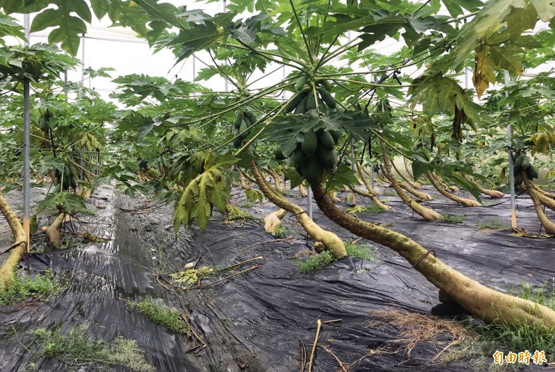 高雄農損306.6萬元,以木瓜最嚴重。(記者陳文嬋攝)
