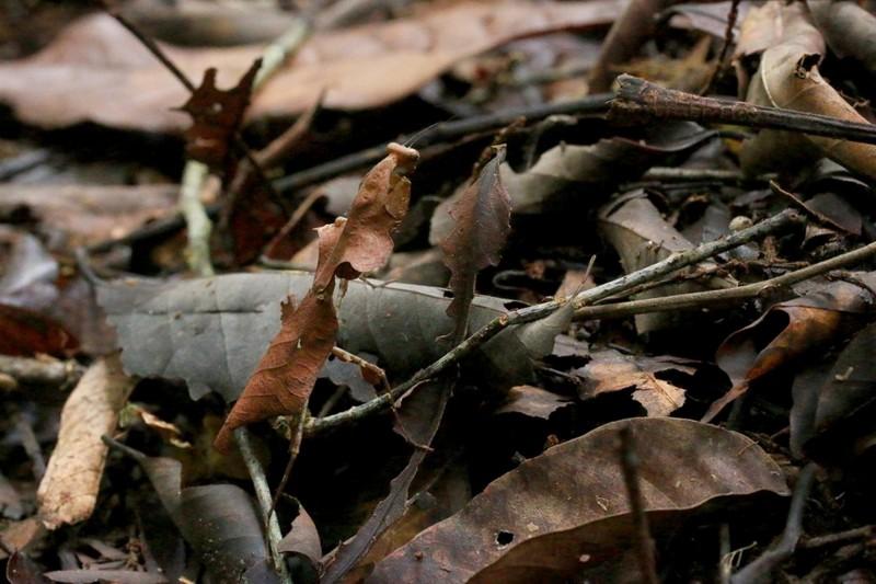 枯葉螳螂與環境幾乎融為一體,而難以發覺。(吳首賢提供)