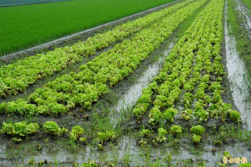 蔬菜產區降大雨,不少蔬菜泡水中。(記者詹士弘攝)