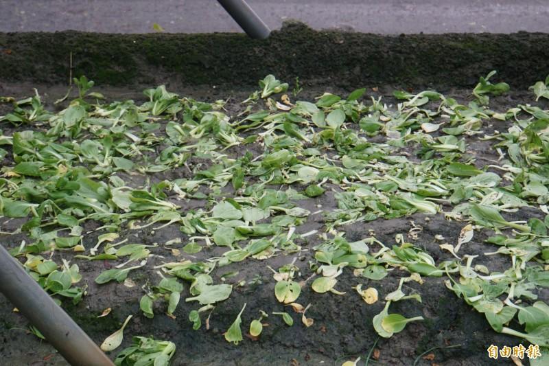 有水傷及枯花的菜葉佔收成的3成,採收後的菜園,覆蓋摘除後的菜葉。(記者詹士弘攝)