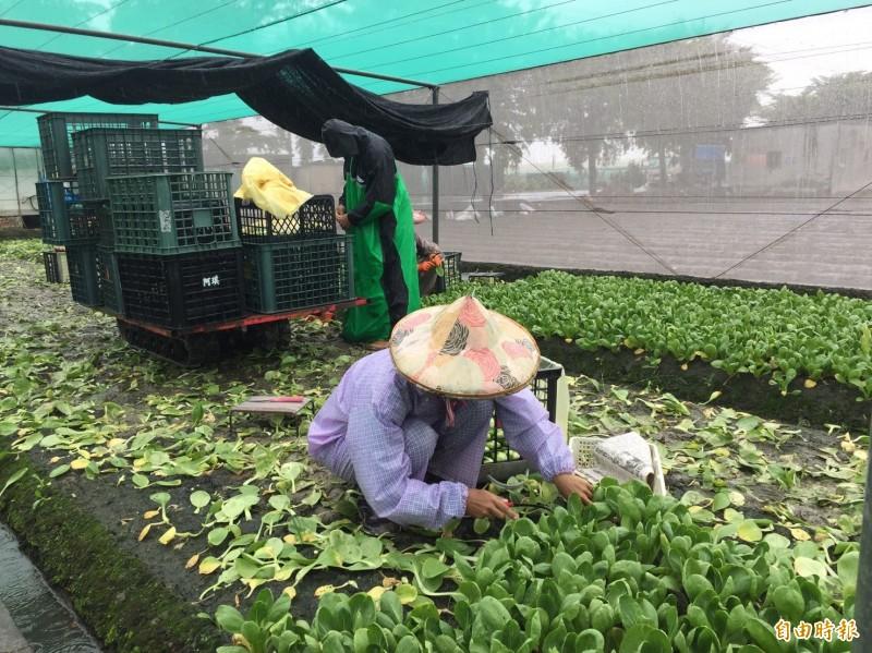 天降大雨,菜農仍舊冒雨搶收蔬菜。(記者詹士弘攝)