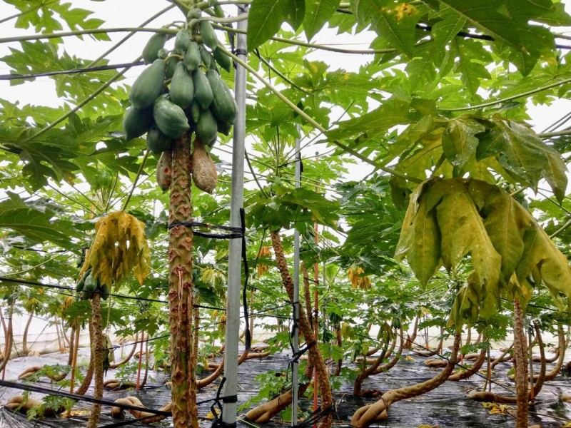 高市農損359萬7千元,以木瓜受損嚴重。(記者陳文嬋翻攝)
