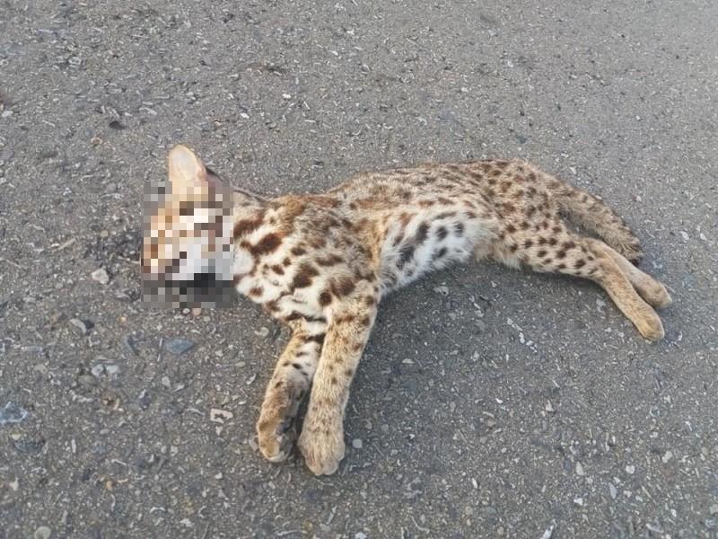 今早有民眾於西濱公路後龍赤土崎路段發現幼年石虎屍體。(圖擷取自臉書後龍大小事)