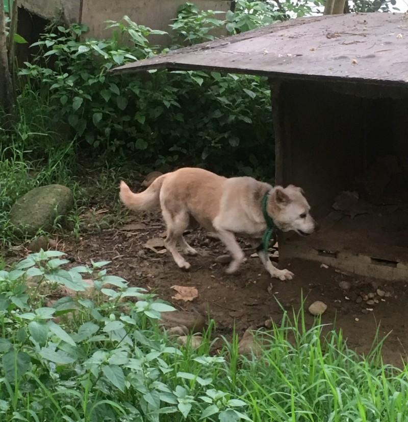 新竹縣家畜疾病防治所在今年元月將「林爺爺」約90隻狗全數沒入後,沒想到林男又陸續帶狗回家,目前又養了20多隻。(記者廖雪茹翻攝)