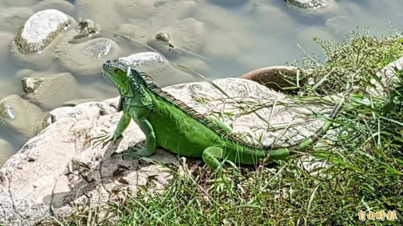 綠鬣蜥今年移除3000多隻 高屏地區最嚴重