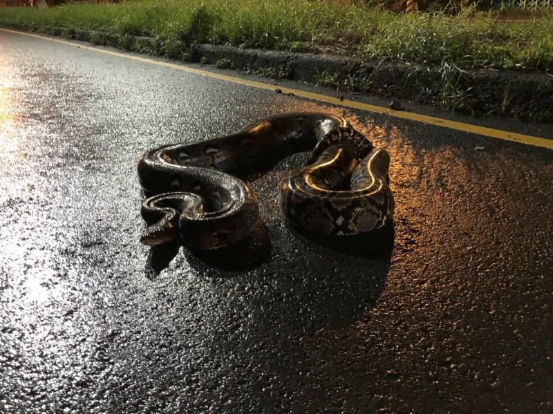 該蟒蛇在大坪頂馬路逛大街遭逮。(記者洪臣宏翻攝)