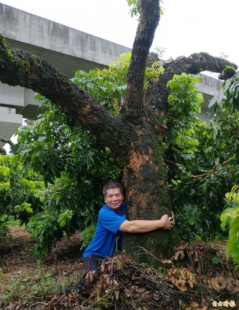 果農劉克貌抱著樹齡60年的龍眼樹表示,把樹砍矮相當不捨,但日後反得父親稱讚。(記者陳冠備攝)