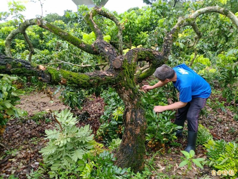 劉克貌說,果樹矮化需勤疏枝,樹幹上不能有枝條,這樣整株樹的營養就能集中,產出又大又Q彈的龍眼。(記者陳冠備攝)