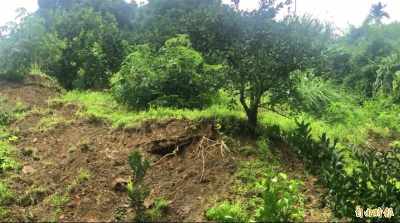 中寮鄉崁頂村出現走山,導致柳丁樹隨崩落土石下滑。(記者陳鳳麗攝)